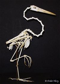 Squelette de héron