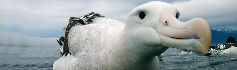albatross_507792